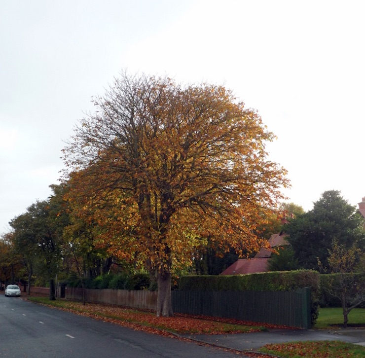 stanley road tree