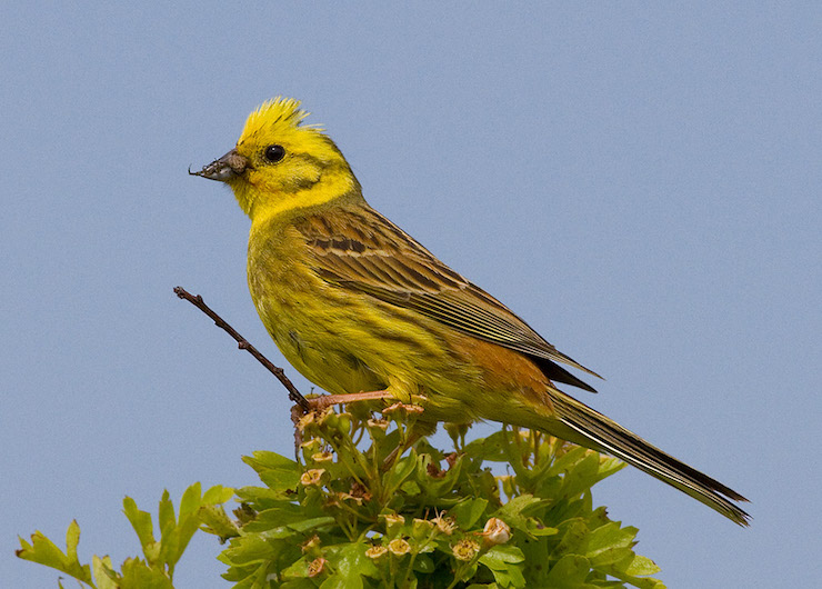 Gorse Hill Yellowhammer